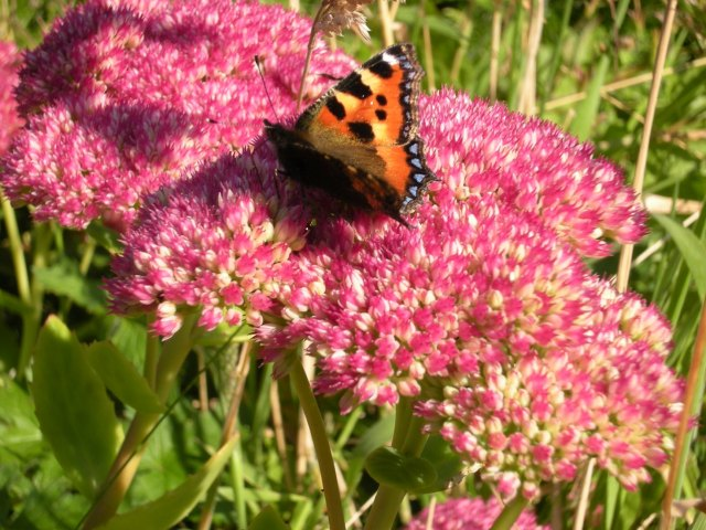 Iceplant from garden with butterfly